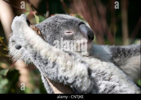 koala, koala bear (Phascolarctos cinereus), portrait, Australia, Queensland - Stock Photo