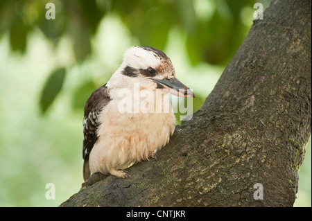 laughing kookaburra (Dacelo novaeguineae), on tree, Australia, Queensland - Stock Photo