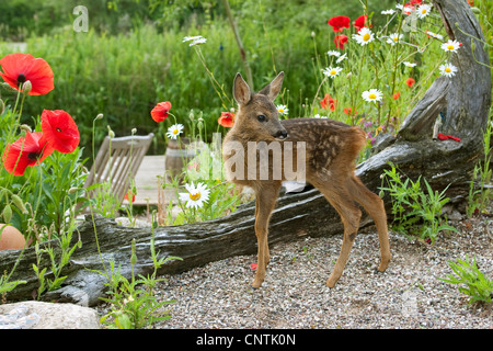 roe deer (Capreolus capreolus), fawn in the garden, Germany - Stock Photo