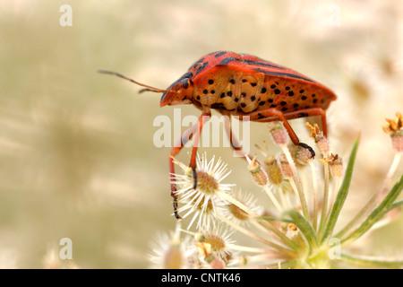 Graphosoma lineatum (Graphosoma lineatum, Graphosoma italicum), sitting on a plant, Germany, Rhineland-Palatinate - Stock Photo