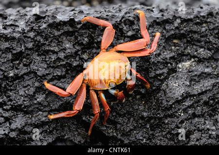 Sally lightfoot crab, mottled shore crab (Grapsus grapsus), on wet rock, Ecuador, Galapagos Islands, Espanola - Stock Photo
