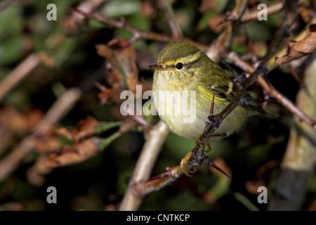 yellow-browed warbler (Phylloscopus inornatus), on twig, Germany, Schleswig-Holstein, Heligoland - Stock Photo