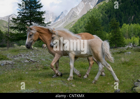 Haflinger horse (Equus przewalskii f. caballus), horse and foal in a mountain meadow, Italy, South Tyrol - Stock Photo