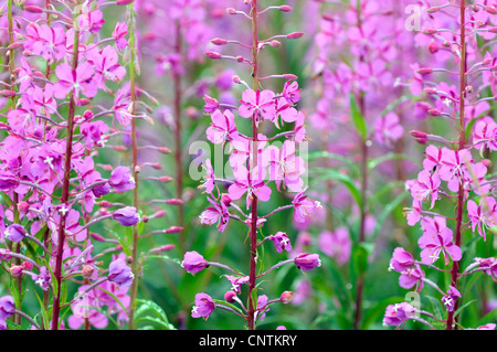 fireweed, blooming sally, rosebay willow-herb, great willow-herb (Epilobium angustifolium, Chamaenerion angustifolium), - Stock Photo
