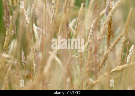 common velvet grass, Yorkshire-fog, creeping velvetgrass (Holcus lanatus), ripe gras ears, Germany - Stock Photo