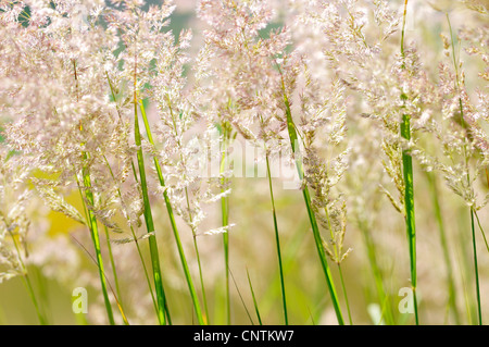 common velvet grass, Yorkshire-fog, creeping velvetgrass (Holcus lanatus), blooming in backlight, Germany - Stock Photo