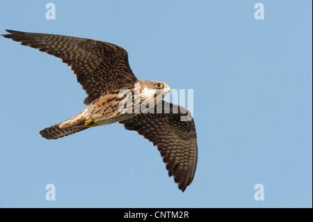 Eleonora's falcon (Falco eleonorae), flying bright male, Italy, Sardegna, Isola San Pietro, Capo Sandalo - Stock Photo