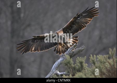 golden eagle (Aquila chrysaetos), landing on a dead pine snag, United Kingdom, Scotland, Cairngorms National Park