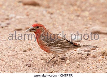 House Finch Carpodacus mexicanus male Arizona - Stock Photo