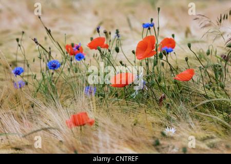 Wildflowers and weeds like cornflowers (Centaurea cyanus) and poppies in cornfield on farmland - Stock Photo