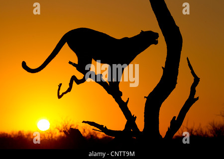 African Leopard (Panthera pardus) at sunrise, in Silhouette, South Africa - Stock Photo