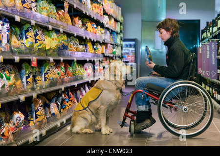 Invalid and physically disabled person in wheelchair shopping with Labrador mobility assistance dog in supermarket, - Stock Photo