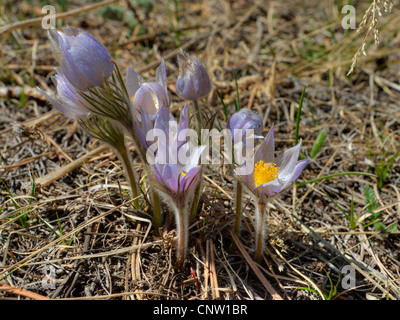 Pasque Flower (Anemone patens), sometimes incorrectly called a Crocus, is one of the earliest wildflowers to bloom - Stock Photo
