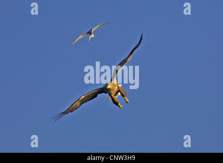 white-tailed sea eagle (Haliaeetus albicilla), arctic tern gliding in a clear blue sky with a sea eagle harrying - Stock Photo