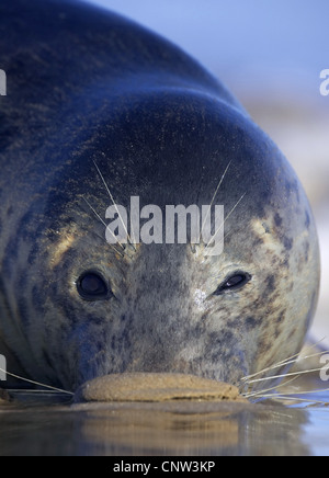 gray seal (Halichoerus grypus), portrait of a female with the nose in the sand, United Kingdom, England, Lincolnshire - Stock Photo