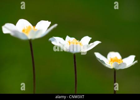 alpine anemone (Pulsatilla alpina), three flowers side by side, Austria, Hohe Tauern National Park - Stock Photo