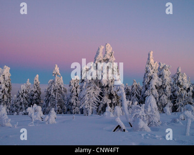snow-covered light conifer forest in the light of the rising sun, Czech Republic, Erz Mountains, Keilberg - Stock Photo