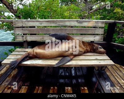 Galapagos sea lion (Zalophus californianus wollebaeki, Zalophus wollebaeki), lying on a bench sleeping, Ecuador, - Stock Photo