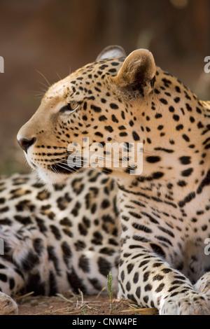 Amur leopard (Panthera pardus orientalis), portrait, Namibia, Okonjima - Stock Photo