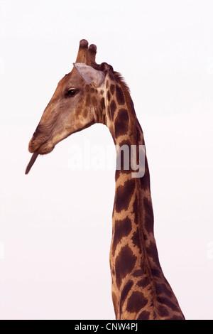 Angolan giraffe, Smoky giraffe (Giraffa camelopardalis angolensis), poking tongue out, Namibia, Etosha National Park