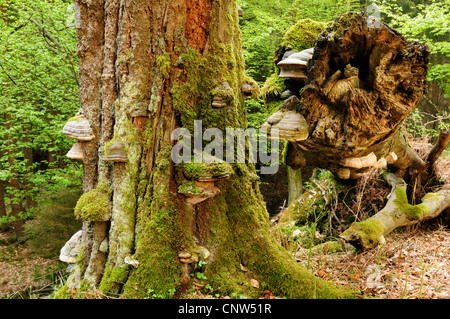 common beech (Fagus sylvatica), old dead beech with bracket fungi, Germany - Stock Photo