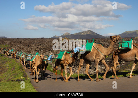 dromedary, one-humped camel (Camelus dromedarius), Dromedary in the National park Timanfaya on Lanzarote, Canary - Stock Photo