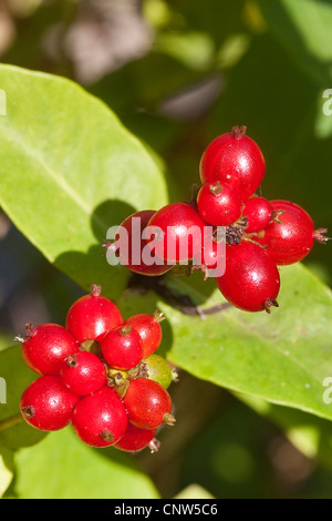 woodbine honeysuckle, English wild honeysuckle (Lonicera periclymenum), fruits, Germany - Stock Photo