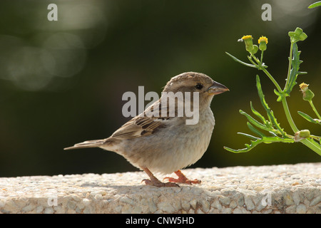 Spanish sparrow (Passer hispaniolensis), sitting on a wall, Canary Islands, Lanzarote - Stock Photo