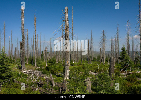 Norway spruce (Picea abies), forest dieback at Lusen in National Park Bavarian Forest, Germany, Bavaria, Bavarian - Stock Photo