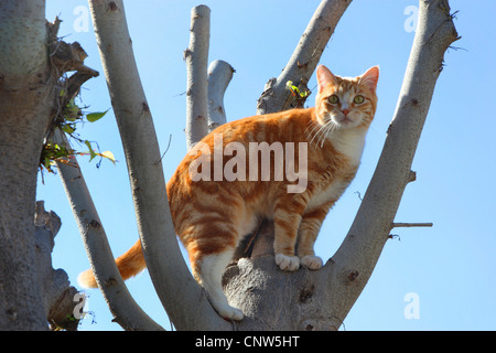 domestic cat, house cat (Felis silvestris f. catus), in a tree, Canary Islands, Lanzarote - Stock Photo