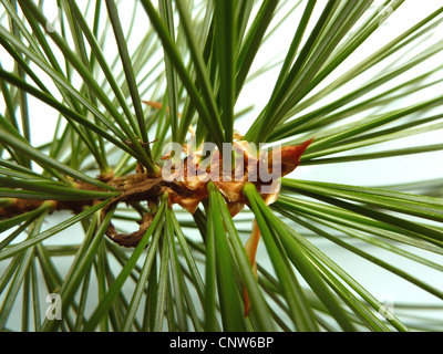 Korean pine (Pinus koraiensis), branch with needles - Stock Photo