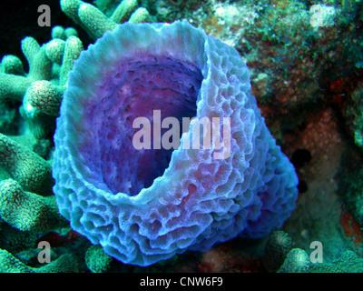 Azure Vase Sponge Callyspongia Plicifera Stock Photo 283746304 Alamy