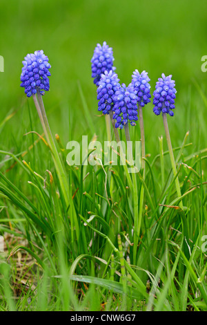 small grape hyacinth, common grape hyacinth (Muscari botryoides), blooming in a meadow, Germany, Bavaria - Stock Photo