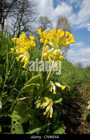 cowslip primrose (Primula veris), flowering on a meadow, Germany, North Rhine-Westphalia - Stock Photo