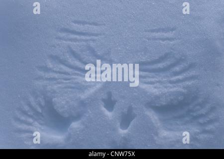 Rock ptarmigan, Snow chicken (Lagopus mutus), tracks in the snow of a starting snow chicken , Sweden, Lapland, Muddus NP, Stubba Naturreservat