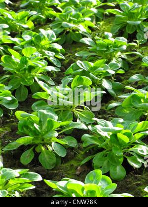 common cornsalad, lamb's lettuce, European cornsalad (Valerianella locusta), vegetable patch in a greenhouse, Germany - Stock Photo