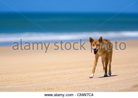 Dingo (Canis lupus dingo), female adult strolling along a beach on Fraser Island, Australia, Queensland, Fraser - Stock Photo