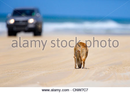 Dingo (Canis lupus dingo), a dingo is searching for food on a beach while a car is approaching, Australia, Queensland, - Stock Photo