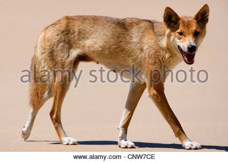 Dingo (Canis lupus dingo), side view of a female adult strolling along a sandy beach, Australia, Queensland, Fraser - Stock Photo