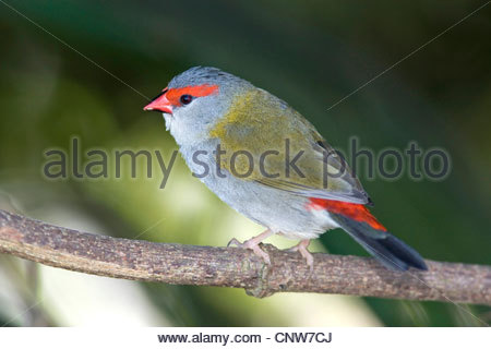 Red-browed Waxbill, Australian Red-browed Firetail Finch (Aegintha temporalis, Neochmia temporalis), adult sits - Stock Photo