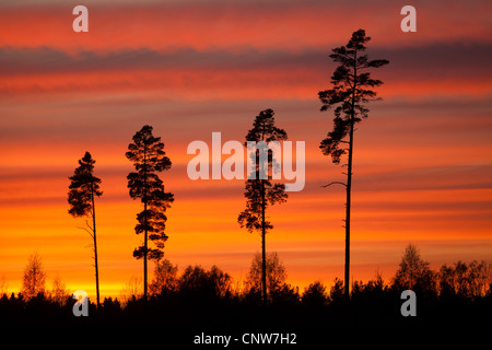 Tall pine trees and colorful skies at dusk in Råde kommune, Østfold fylke, Norway. - Stock Photo