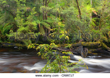 Franklin River and rainforest, Australia, Tasmania, Franklin Gordon Wild Rivers National Park - Stock Photo