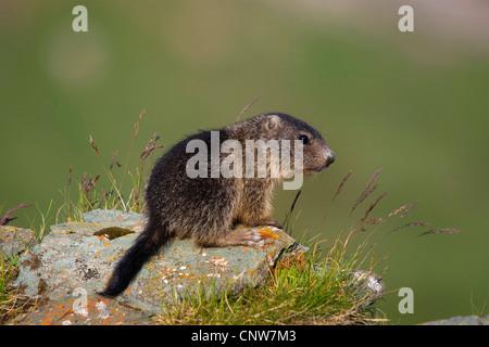 alpine marmot (Marmota marmota), sitting on a rock, Austria, Hohe Tauern National Park, Grossglockner - Stock Photo
