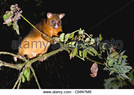 common ringtail possum (Pseudocheirus peregrinus), adult climbing high in the tops of the rainforest foraging at - Stock Photo