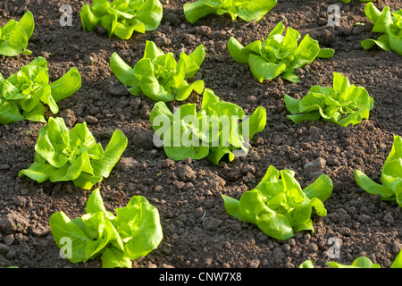 lettuce lactuca sativa of the garden in the hand harvest of stock photo royalty free image. Black Bedroom Furniture Sets. Home Design Ideas