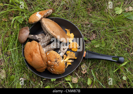 brown birch bolete (Leccinum scabrum), collected mushrooms in a pan, Germany - Stock Photo