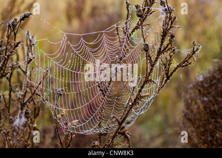 spiderweb with dew drops in the morning, Austria - Stock Photo