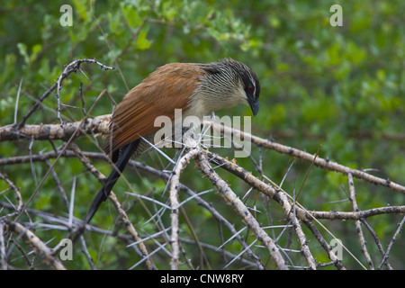 white-browed coucal (Centropus superciliosus), on shrub, Namibia, Mahango National Park - Stock Photo