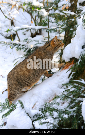 European wildcat, forest wildcat (Felis silvestris silvestris), pregnant cat in a snow capped forest climbing at - Stock Photo
