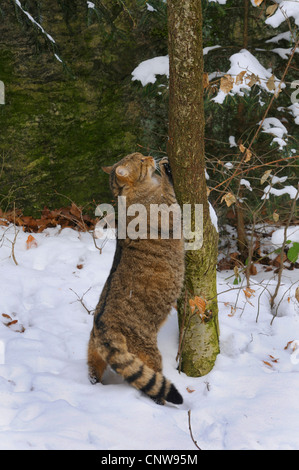 European wildcat, forest wildcat (Felis silvestris silvestris), pregnant cat in a snow-covered landscape climbing - Stock Photo